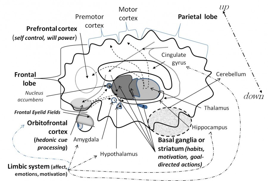 Brain Side View_Will Power and Cognitive Neuroscience